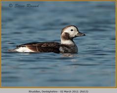 long-tailed-duck-13.jpg