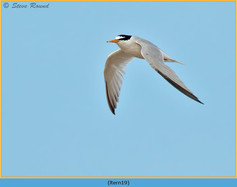 little-tern-19.jpg