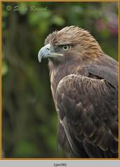 golden-eagle(c)-08.jpg