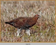 red-grouse-115.jpg