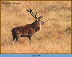 red-deer-47.jpg