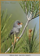 balearic-warbler-07.jpg