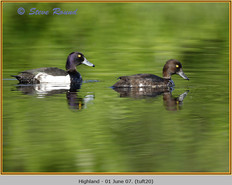 tufted-duck-20.jpg