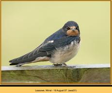 swallow-31.jpg