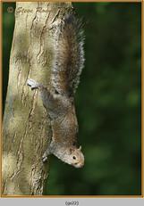 grey-squirrel-22.jpg