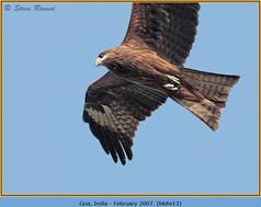 black-kite-12.jpg