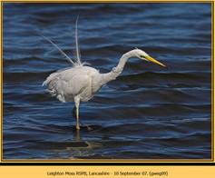 great-white-egret-09.jpg