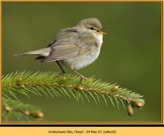 willow-warbler-10.jpg