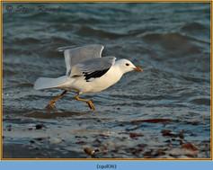 common-gull-36.jpg