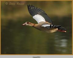 egyptian-goose-06.jpg