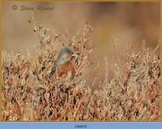dartford-warbler-03.jpg