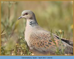 turtle-dove-14.jpg