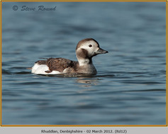 long-tailed-duck-12.jpg
