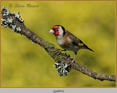 goldfinch-52.jpg
