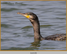 cormorant-18.jpg