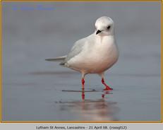 ross's-gull-12.jpg