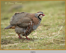 red-legged-partridge-01.jpg