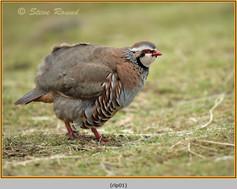 red-legged-partridge-01.jpg