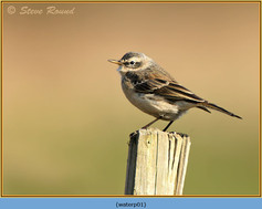 water-pipit-01.jpg