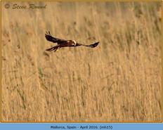 marsh-harrier-15.jpg