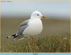 common-gull-44.jpg