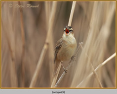 sedge-warbler-29.jpg