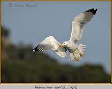 yellow-legged-gull-36.jpg