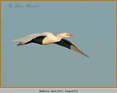 cattle-egret-52.jpg