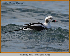 long-tailed-duck-06.jpg