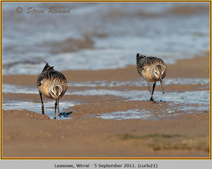 curlew-sandpiper-21.jpg