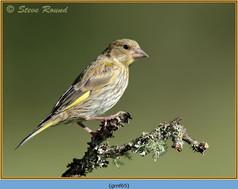 greenfinch-65.jpg