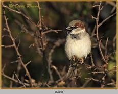 house-sparrow-29.jpg
