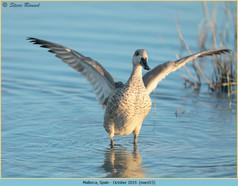 marbled-duck-15.jpg