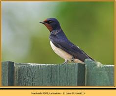 swallow-21.jpg