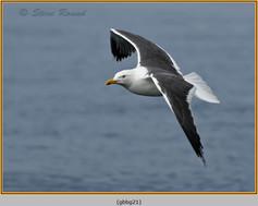 gt-b-backed-gull-21.jpg