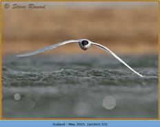 arctic-tern-53.jpg