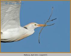 cattle-egret-37.jpg
