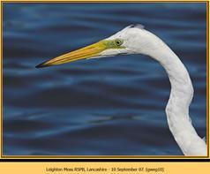 great-white-egret-10.jpg