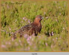 red-grouse-128.jpg