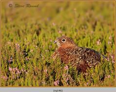 red-grouse-146.jpg