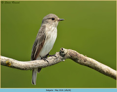 spotted-flycatcher-28.jpg