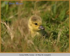 canada-goose-02.jpg
