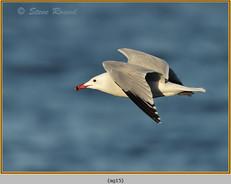 audouin's-gull-15.jpg