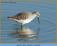 marsh-sandpiper-18.jpg
