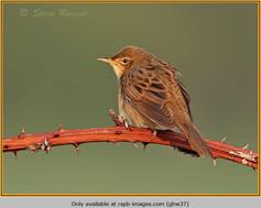 grasshopper-warbler-37.jpg