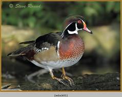 wood-duck-01.jpg
