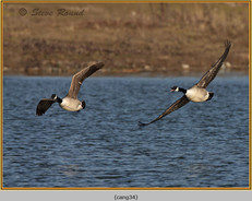 canada-goose-34.jpg
