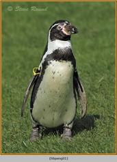 humboldt-penguin-01c.jpg