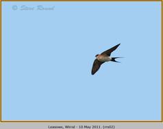 red-rumped-swallow-02.jpg