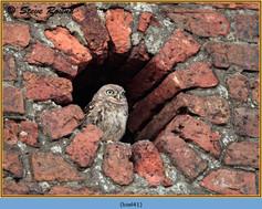 little-owl-41.jpg